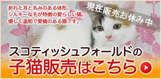 スコティッシュフォールドの子猫販売はこちら