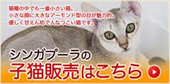 シンガプーラの子猫販売はこちら