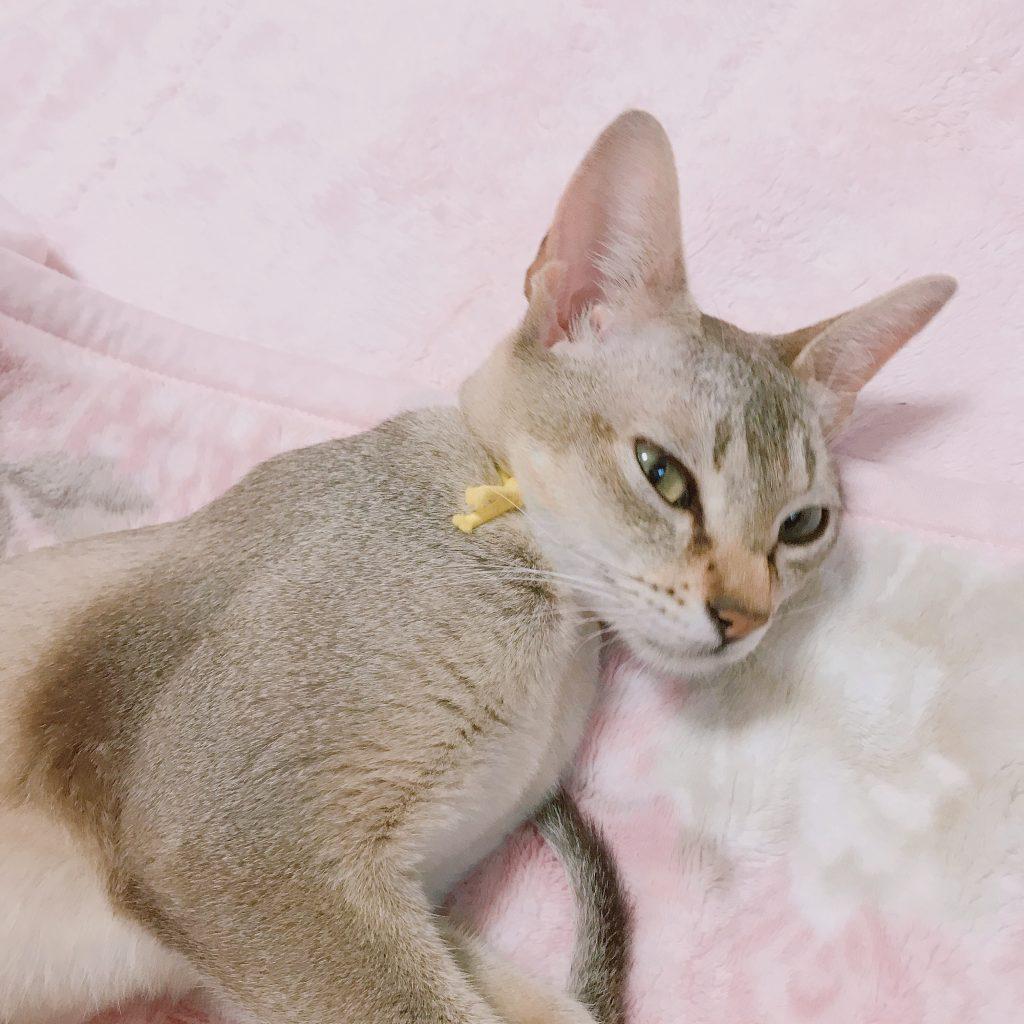 シンガプーラシンガプーラ子猫シンガプーラ販売シンガプーラ大阪