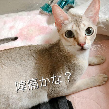 シンガプーラシンガプーラ子猫シンガプーラ販売シンガプーラ大阪シンガプーラ高知アンファミリーシンガプーラブリーダー
