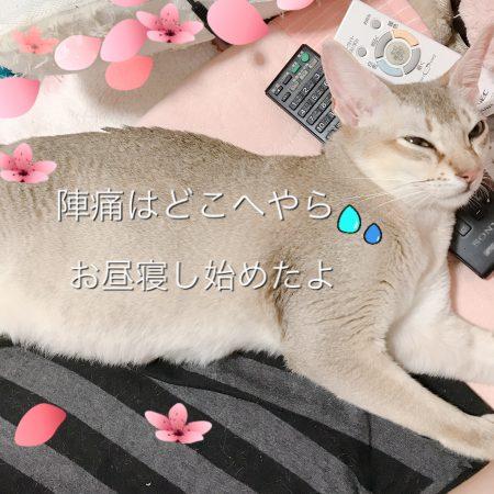 シンガプーラシンガプーラ子猫シンガプーラ販売シンガプーラ大阪シンガプーラ関西シンガプーラ高知シンガプーラ四国シンガプーラ里親アンファミリーシンガプーラブリーダーシンガプーラブリーダー子猫シンガプーラブリーダー販売シンガプーラブリーダー大阪シンガプーラブリーダー高知