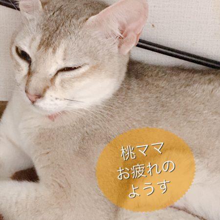 シンガプーラシンガプーラ子猫シンガプーラ販売シンガプーラ大阪シンガプーラ高知シンガプーラブリーダーアンファミリー