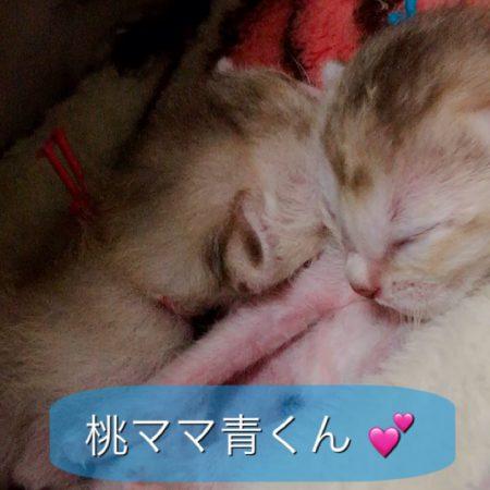 シンガプーラシンガプーラ子猫シンガプーラ販売シンガプーラ大阪シンガプーラ高知シンガプーラブリーダーシンガプーラ里親アンファミリー