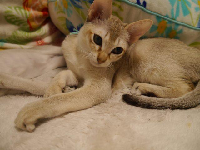 シンガプーラシンガプーラ子猫シンガプーラ販売シンガプーラ高知シンガプーラ大阪シンガプーラ関西シンガプーラ里親シンガプーラゆずりますシンガプーラ猫シンガプーラ画像