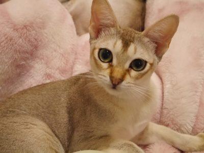 シンガプーラシンガプーラ子猫シンガプーラ販売シンガプーラ大阪シンガプーラ高知シンガプーラ里親シンガプーラブリーダーシンガプーラブリーダー子猫シンガプーラブリーダー販売シンガプーラブリーダー大阪シンガプーラブリーダー高知ブリーダー育成アンファミリー甘えたさんな女の子今は里親さんに可愛がられています