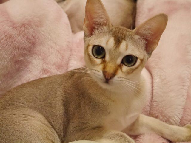 シンガプーラシンガプーラ子猫シンガプーラ販売シンガプーラ高知シンガプーラ大阪シンガプーラ里親アンファミリーシンガプーラゆずりますシンガプーラ画像シンガプーラ猫