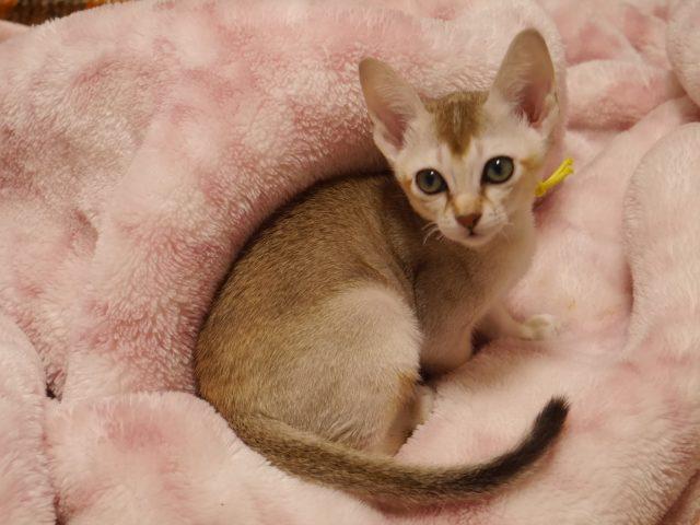シンガプーラシンガプーラ子猫シンガプーラ販売シンガプーラ大阪シンガプーラ高知シンガプーラ関西シンガプーラ里親シンガプーラ画像シンガプーラゆずりますシンガプーラ猫きりりとした顔つきの男の子