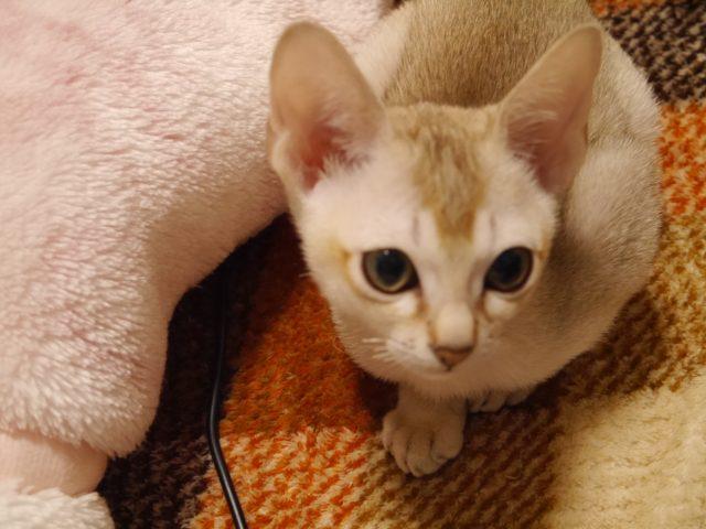 シンガプーラシンガプーラ子猫シンガプーラ販売シンガプーラ大阪シンガプーラ関西シンガプーラ高知シンガプーラ四国シンガプーラ里親アンファミリーシンガプーラゆずりますシンガプーラ猫シンガプーラ画像