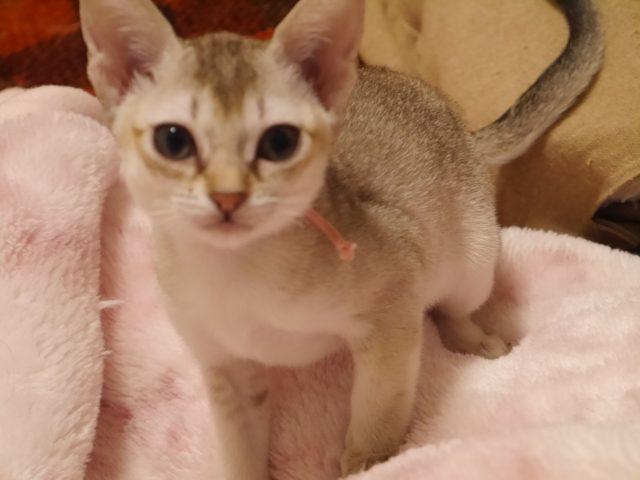 シンガプーラシンガプーラ子猫シンガプーラ販売シンガプーラ大阪シンガプーラ高知シンガプーラ画像シンガプーラゆずりますシンガプーラ猫