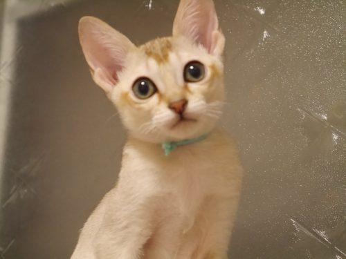 シンガプーラシンガプーラ子猫シンガプーラ販売シンガプーラ大阪シンガプーラ高知シンガプーラ里親アンファミリーシンガプーラブリーダーシンガプーラブリーダー子猫シンガプーラブリーダー販売シンガプーラブリーダー大阪シンガプーラブリーダー高知ブリーダー育成