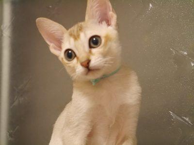 シンガプーラシンガプーラ子猫シンガプーラ販売シンガプーラ大阪シンガプーラ高知シンガプーラ里親アンファミリーシンガプーラブリーダーシンガプーラブリーダー子猫シンガプーラブリーダー販売シンガプーラブリーダー大阪シンガプーラブリーダー高知ブリーダー育成2019年8月13日生まれ男の子青君