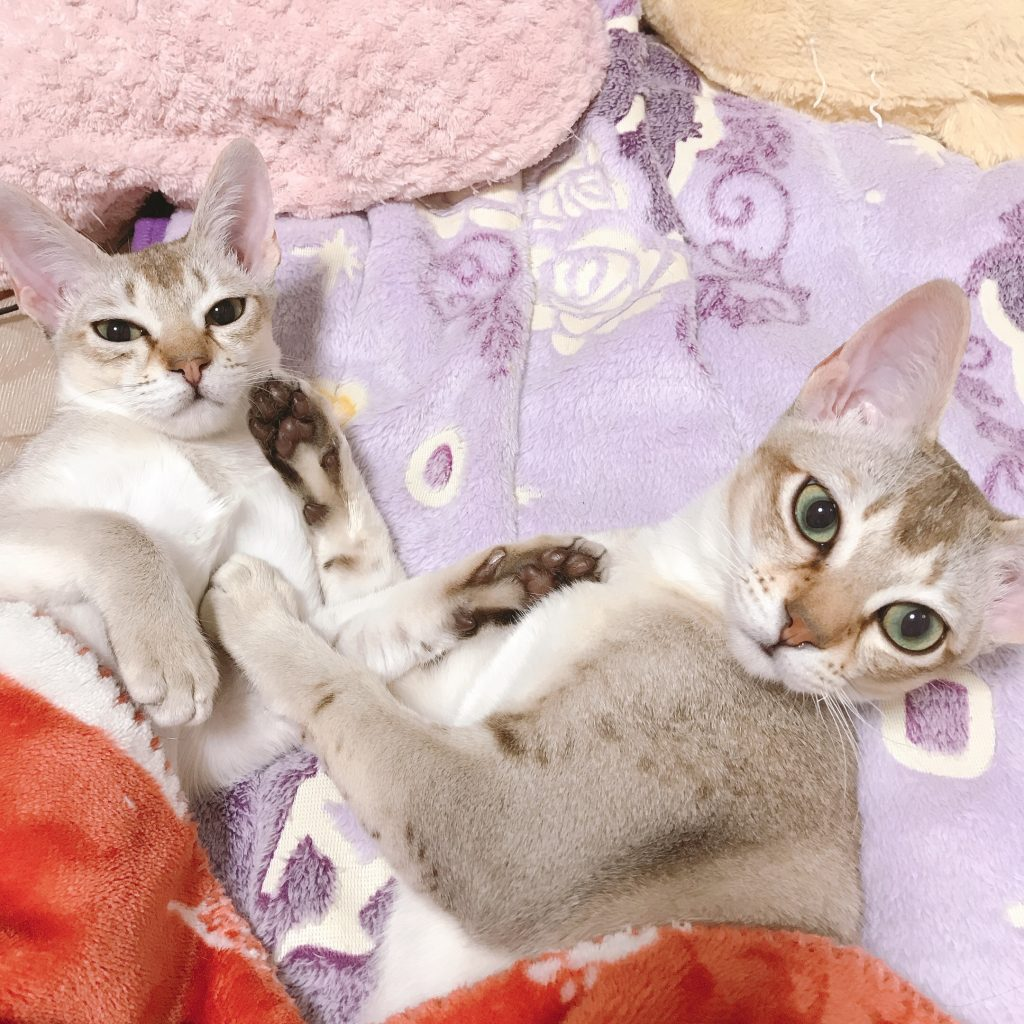 シンガプーラ シンガプーラ子猫 シンガプーラ販売 シンガプーラ大阪シンガプーラ高知シンガプーラ里親アンファミリーシンガプーラブリーダーシンガプーラブリーダー子猫シンガプーラブリーダー販売シンガプーラブリーダー大阪シンガプーラブリーダー高知ブリーダー育成シンガプーラ9月4日うまれの子猫