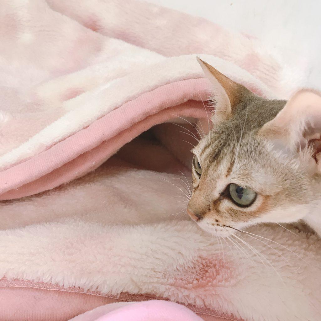 シンガプーラ シンガプーラ子猫 シンガプーラ販売 シンガプーラ大阪シンガプーラ高知シンガプーラ里親アンファミリーシンガプーラブリーダーシンガプーラブリーダー子猫シンガプーラブリーダー販売シンガプーラブリーダー大阪シンガプーラブリーダー高知ブリーダー育成シンガプーラ3月16日うまれの子猫子育て中