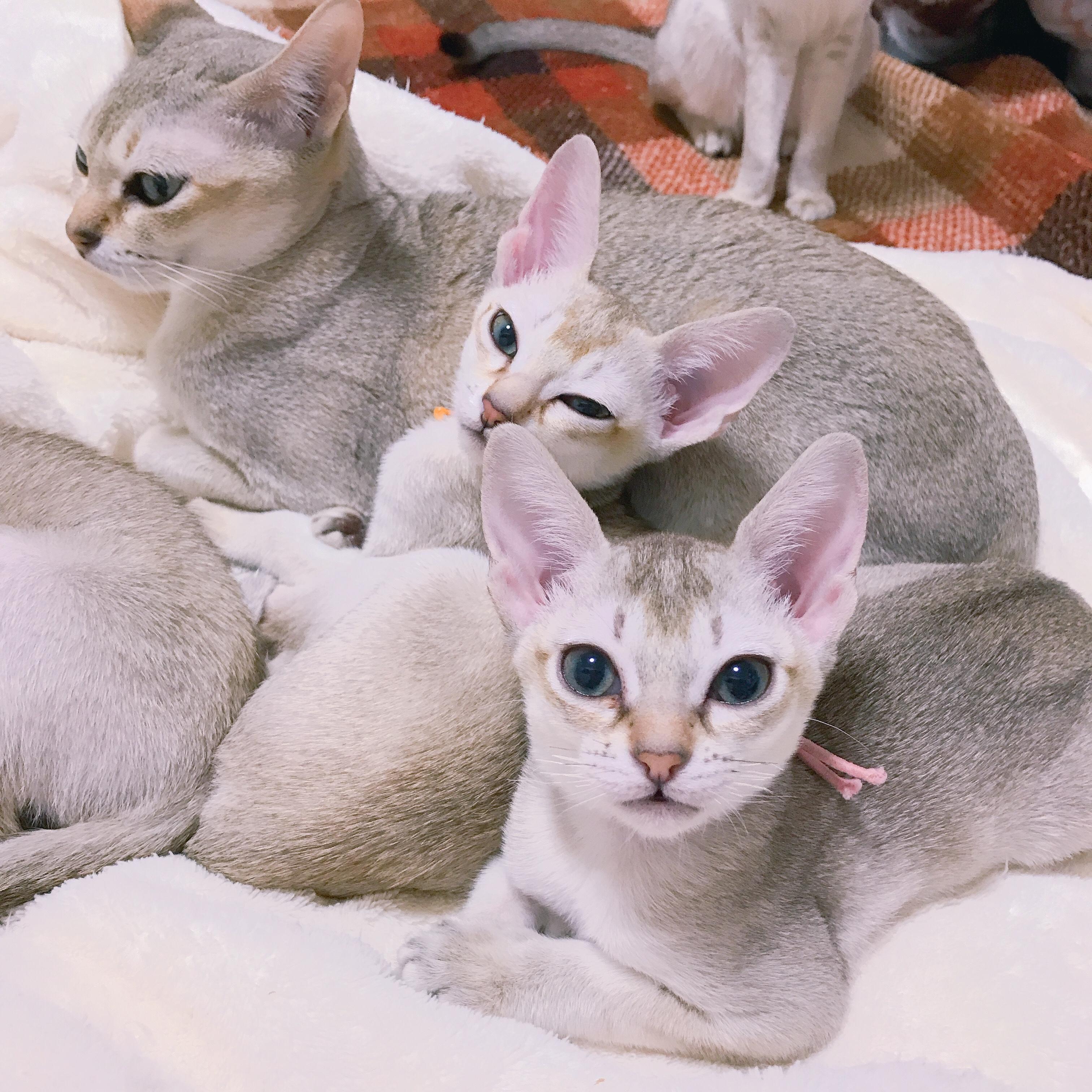 シンガプーラ シンガプーラ子猫 シンガプーラ販売 シンガプーラ大阪シンガプーラ高知シンガプーラ里親アンファミリーシンガプーラブリーダーシンガプーラブリーダー子猫シンガプーラブリーダー販売シンガプーラブリーダー大阪シンガプーラブリーダー高知ブリーダー育成シンガプーラ2019年の子猫